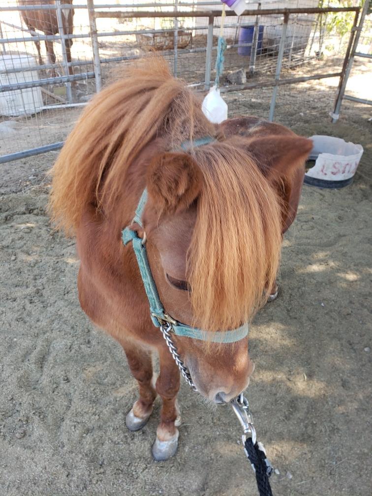 Pony Stud