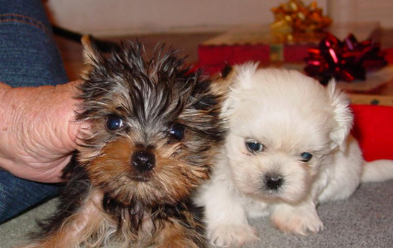 Pennysaver Tiny Teacup Toy Puppies Yorkie Maltese Shih Tzu