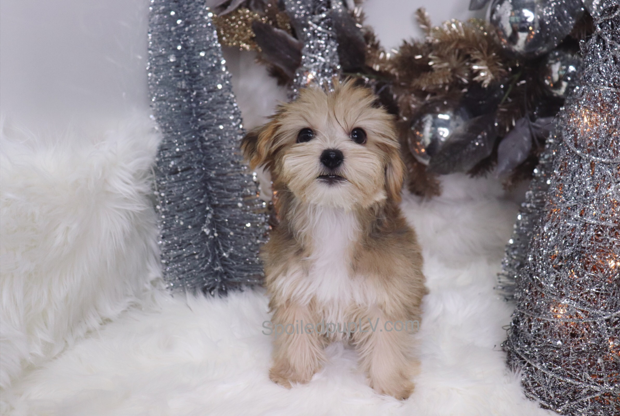 Yorkshire Terrier - Chainz - Male