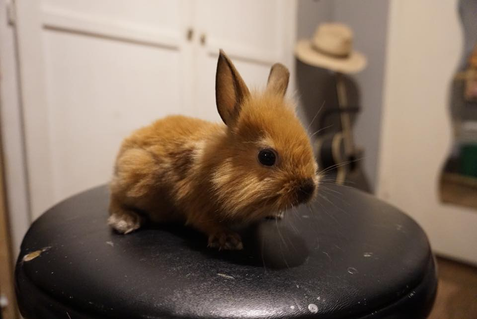 7 week Lion Head Bunnies for Sale