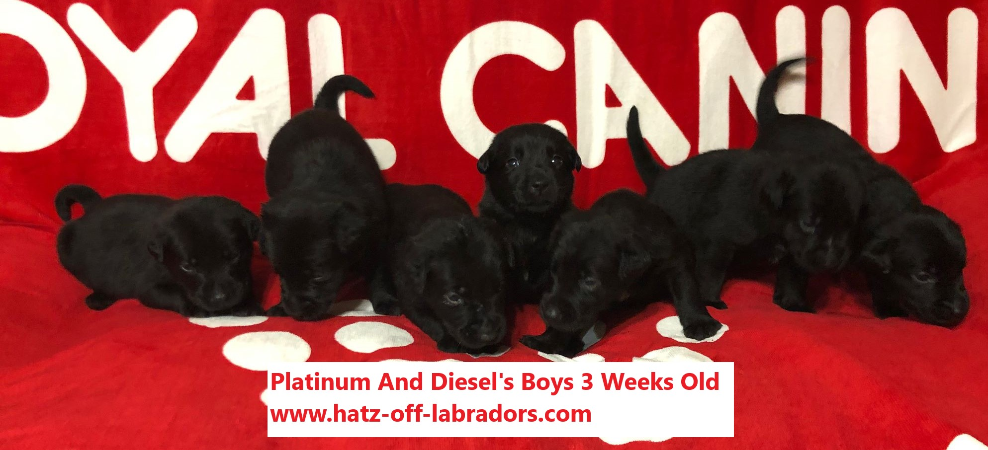 Valantines Day Black Lab Puppies