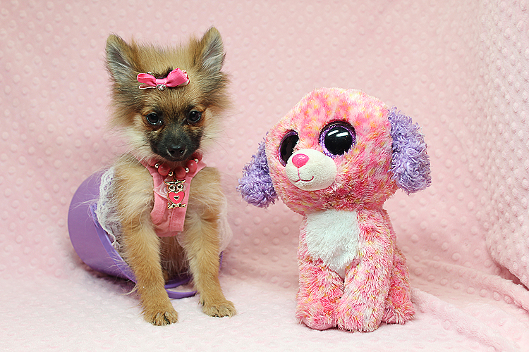 Precious Pomeranian Puppies In Los Angeles