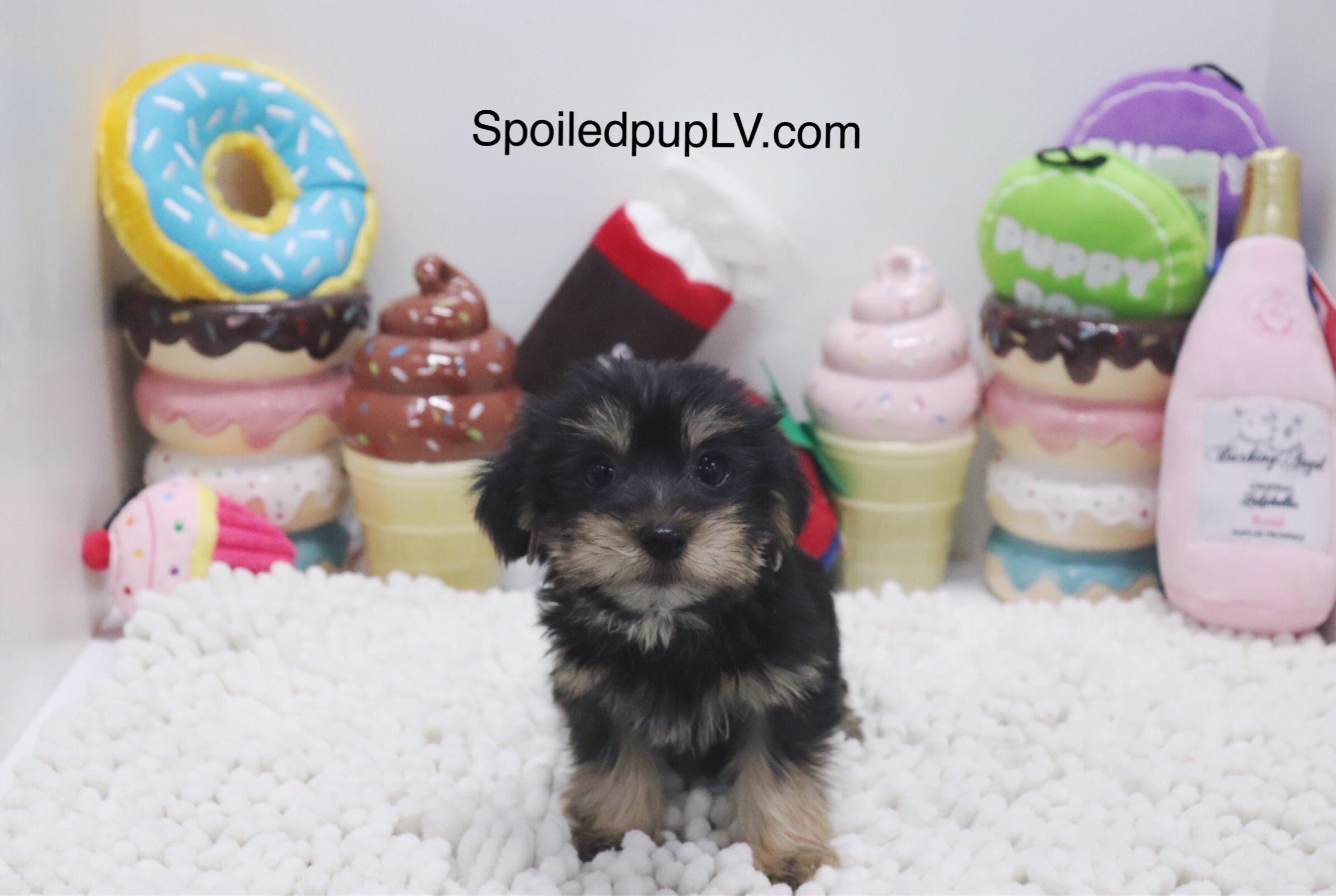 Morkie - Riley - Male