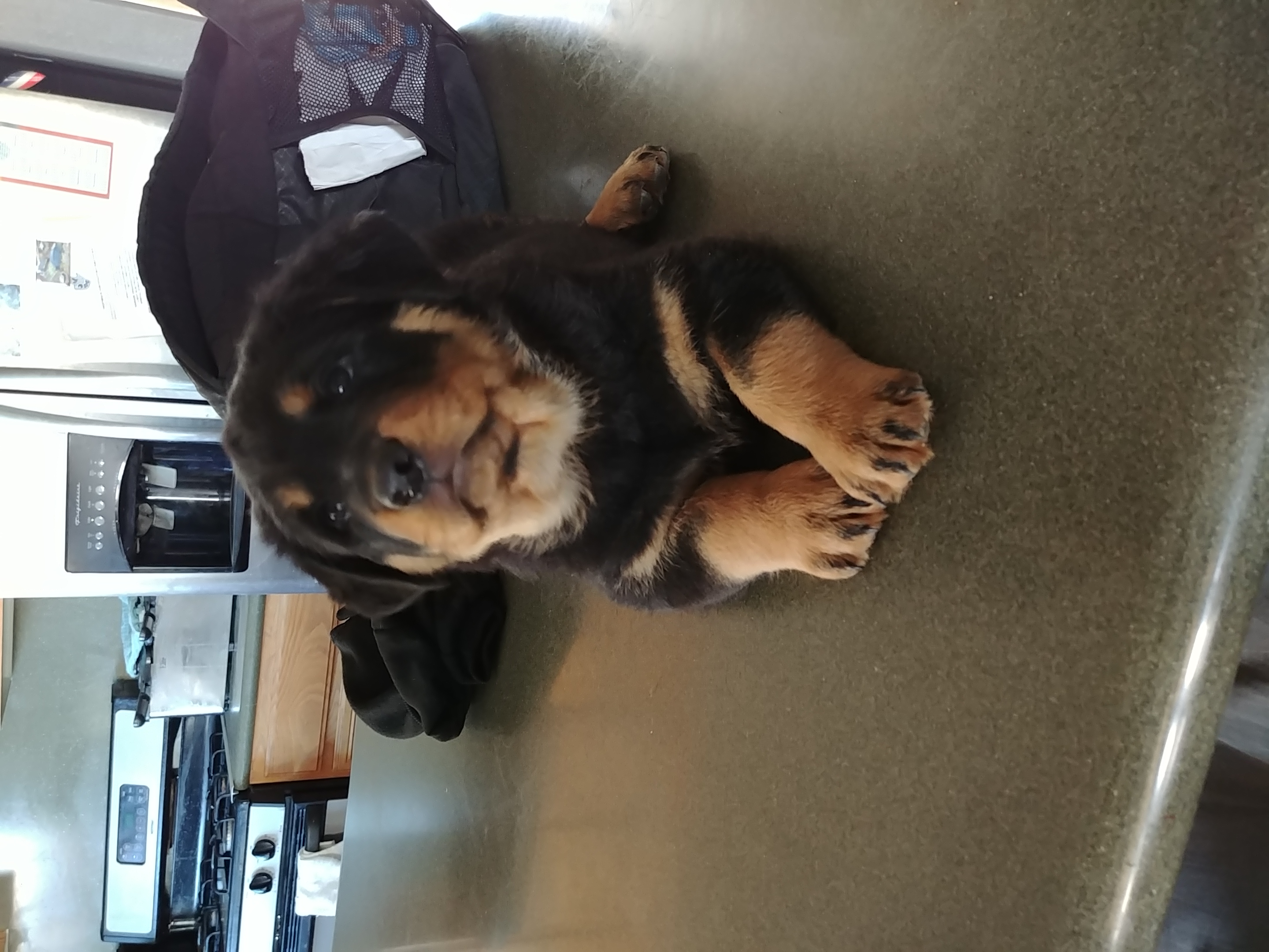 Beautiful Rottweiler Puppies ready 12-15
