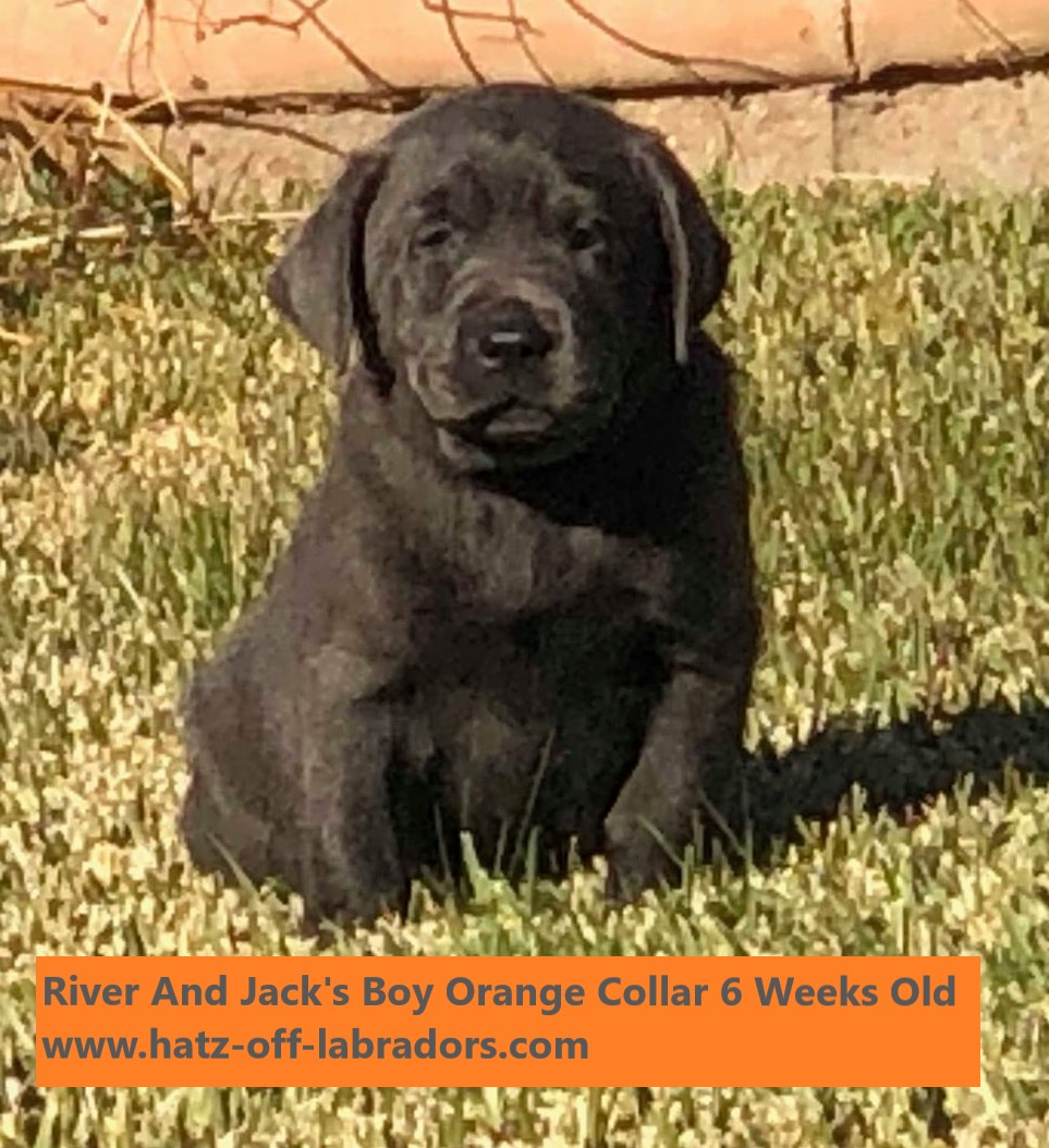 AKC Charcoal Lab Puppies
