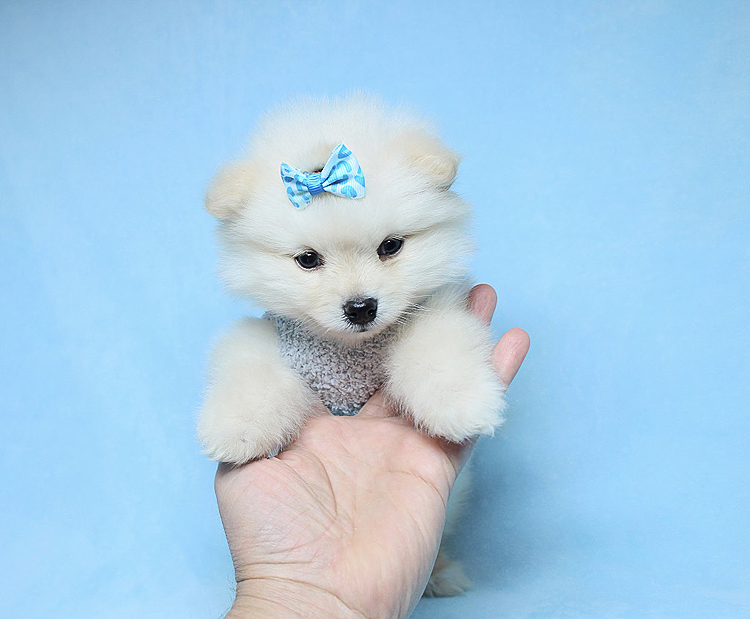 PennySaver   cute tea cup Pomeranian puppies need new home