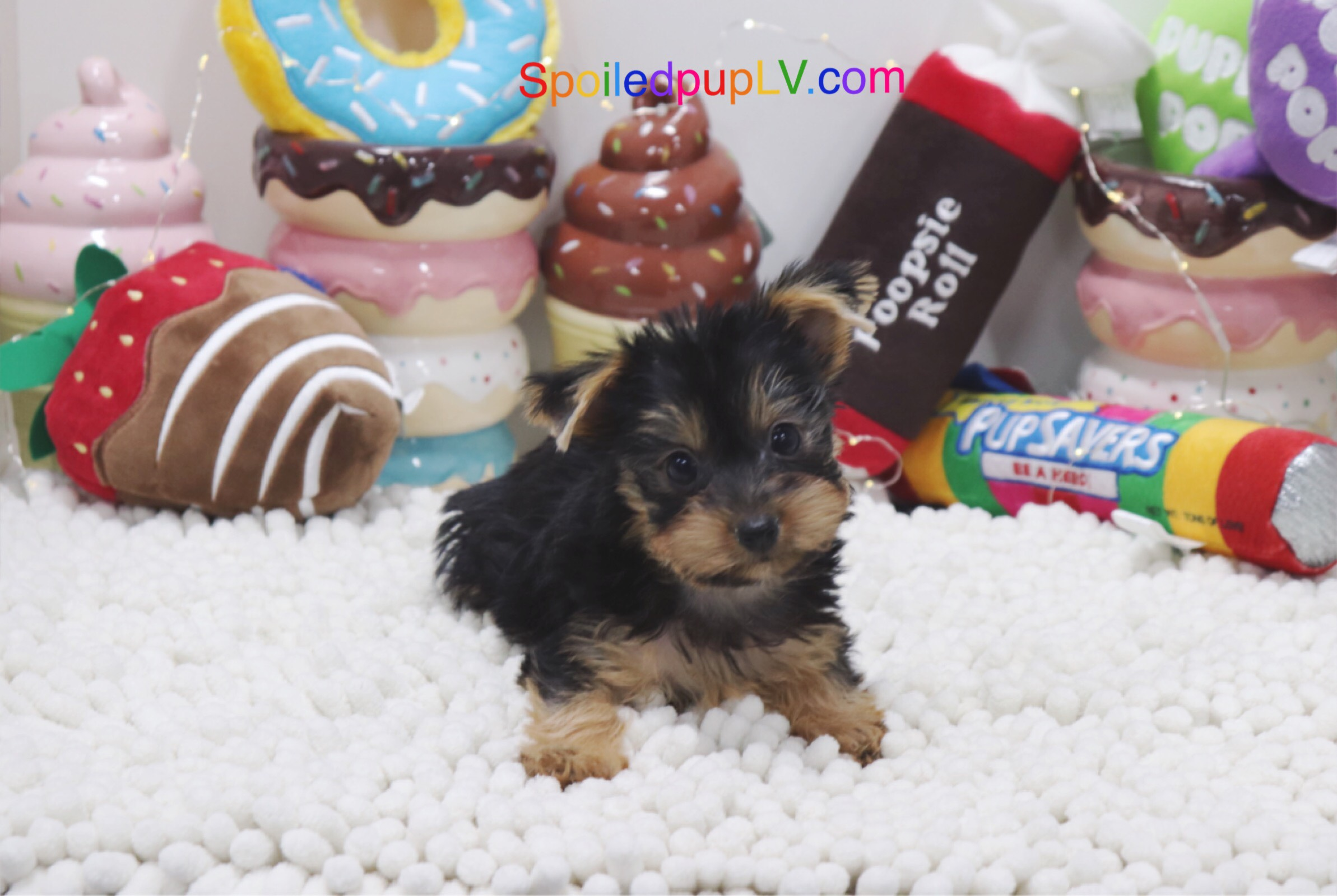 Yorkshire Terrier - Micah - Male