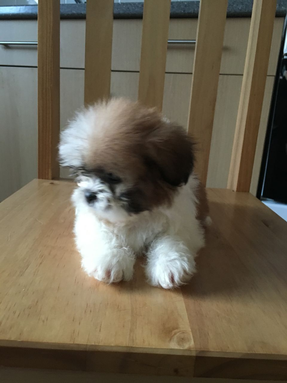 Pennysaver Non Shed Teddy Puppies Very Mellow In Vernon Wisconsin