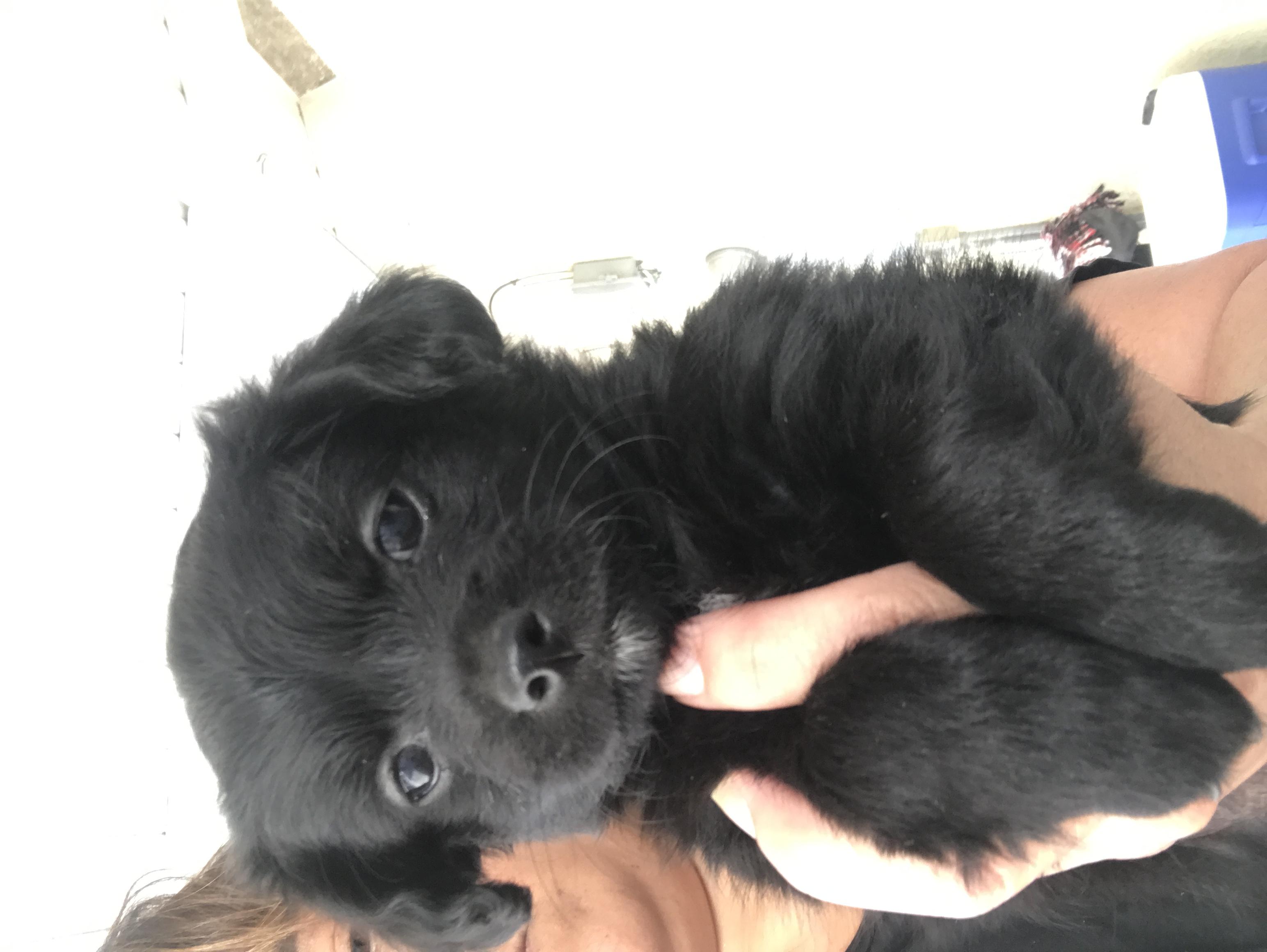 Chihuahua/terrier