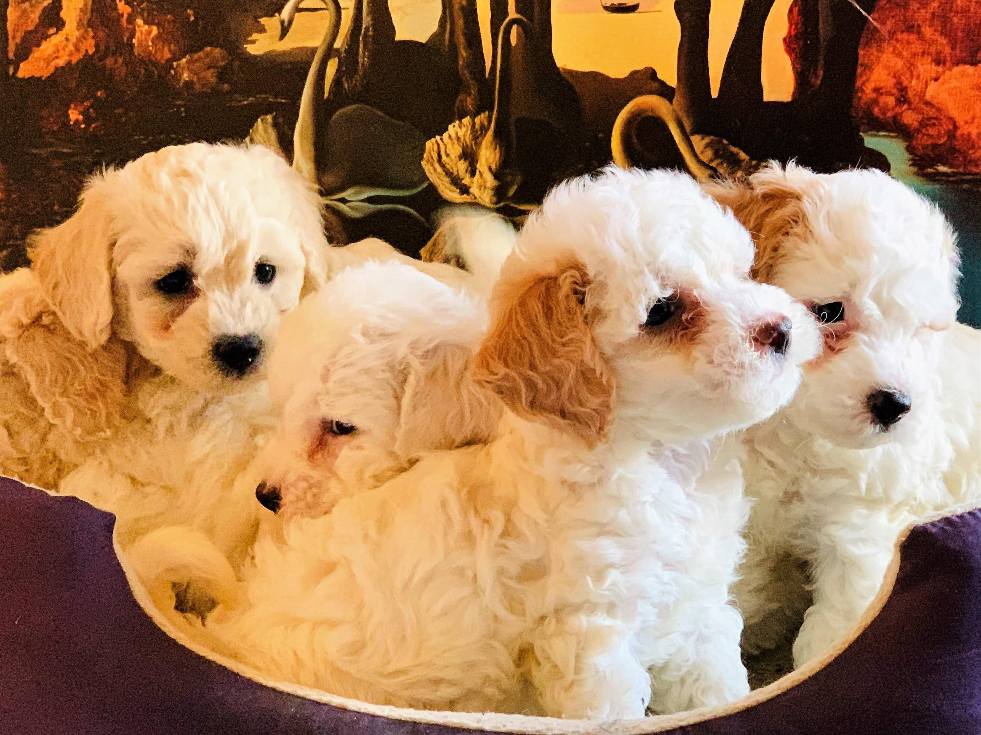 PennySaver | MALTIPOO PUPPIES FOR SALE in San Bernardino
