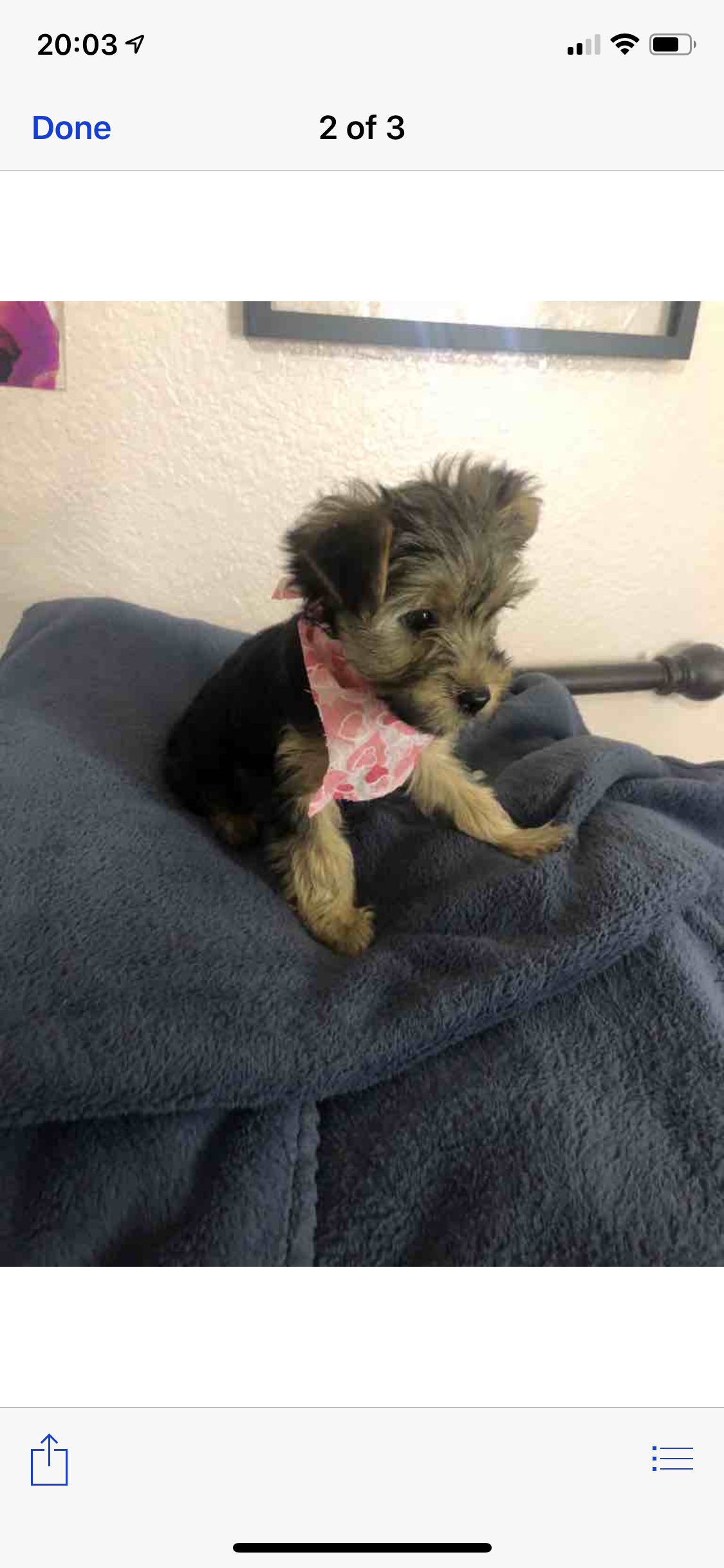 Cute Micro Teacup Yorkie