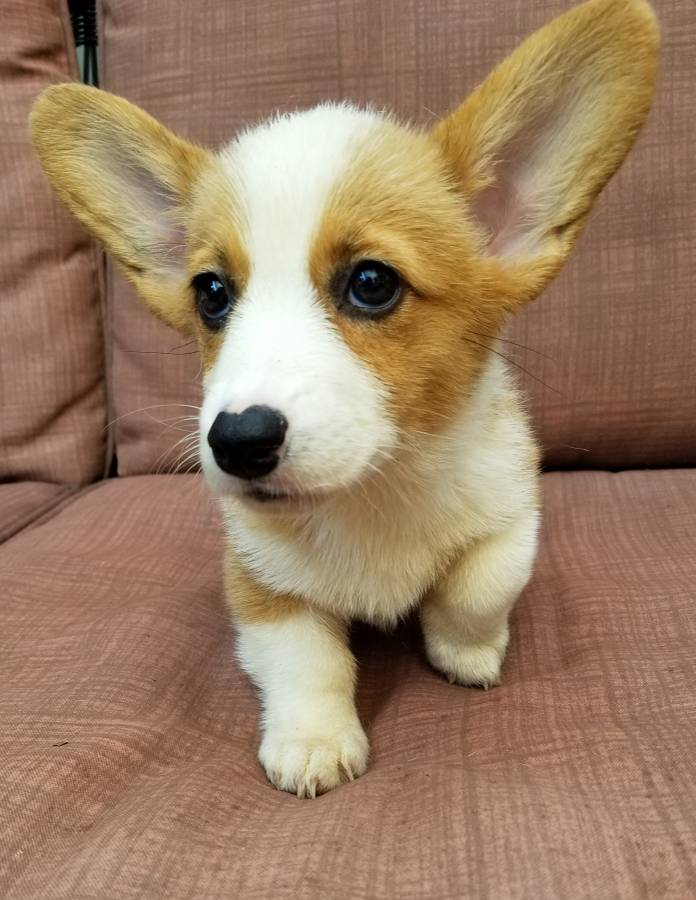 AKC Pembroke Welsh Corgi puppy for Sale