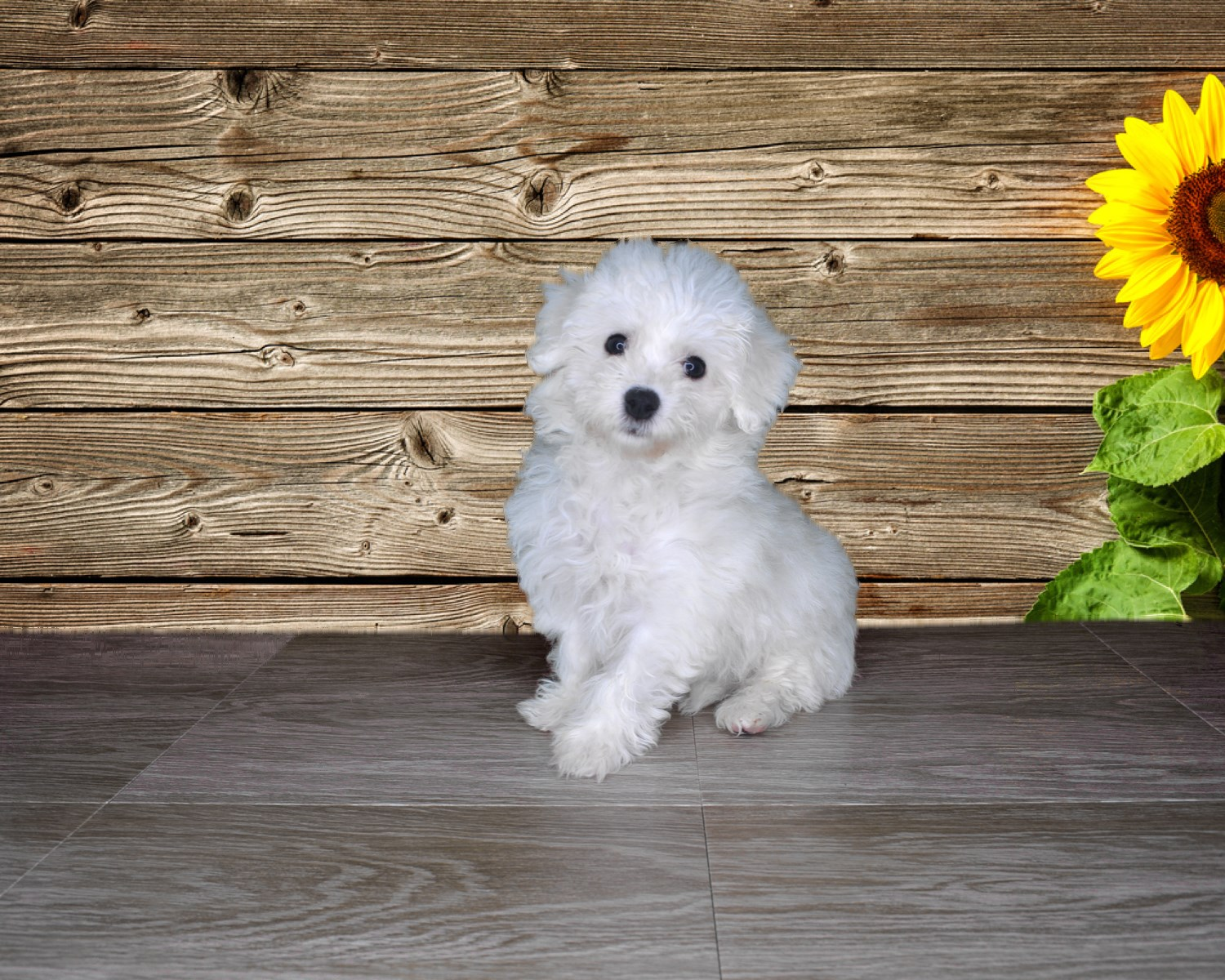 Lyle is Bichon Frise! Male