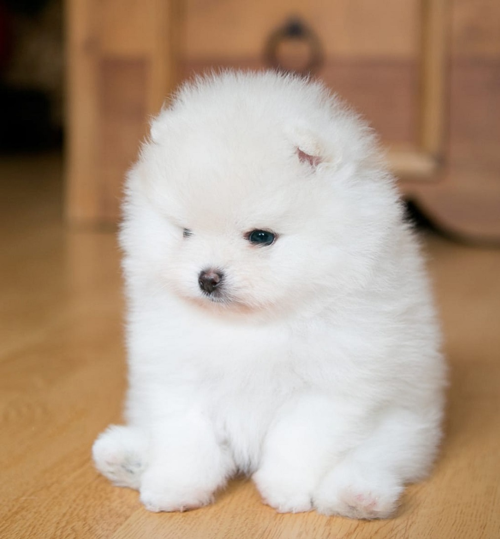 quality males and females Pomeranian Puppies