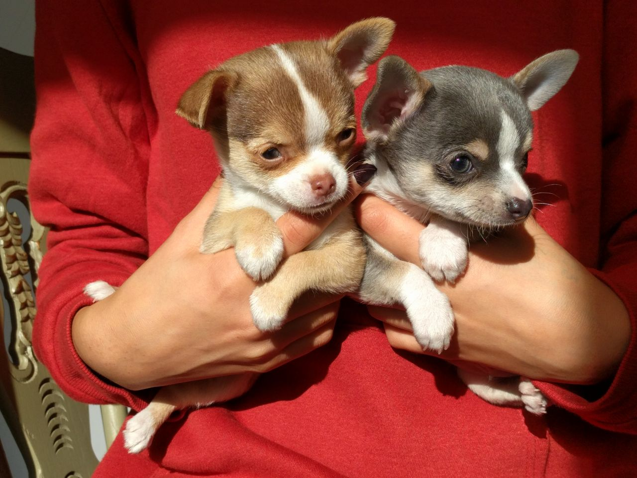 Pennysaver Chihuahua Puppies For Sale In Norfolk Massachusetts Usa