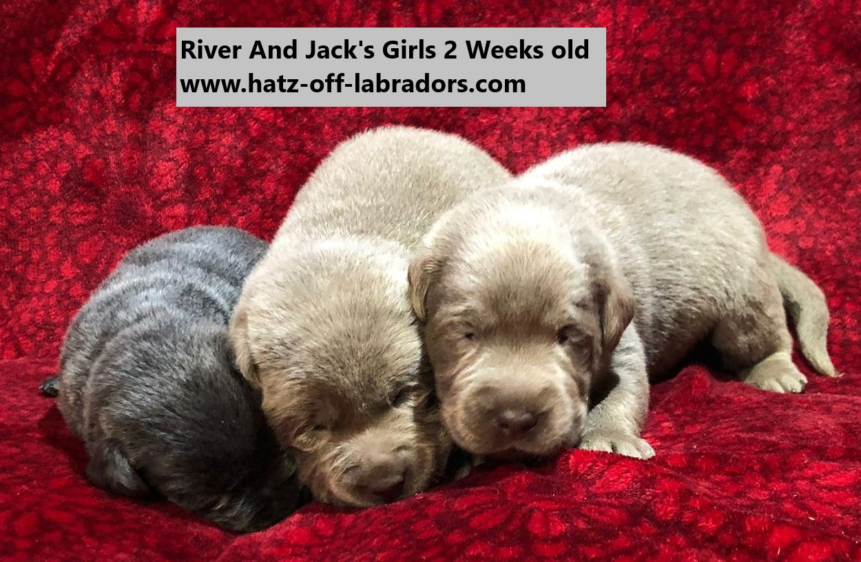 AKC Silver And Charcoal Labrador Puppies