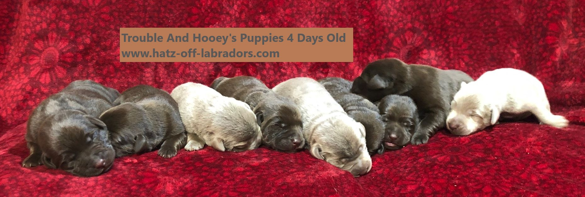 AKC Chocolate And Silver Labrador Puppies