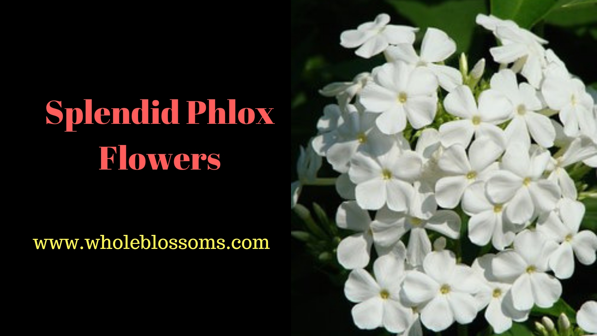 Buy Premium & High Quality of Fresh Cut Phlox