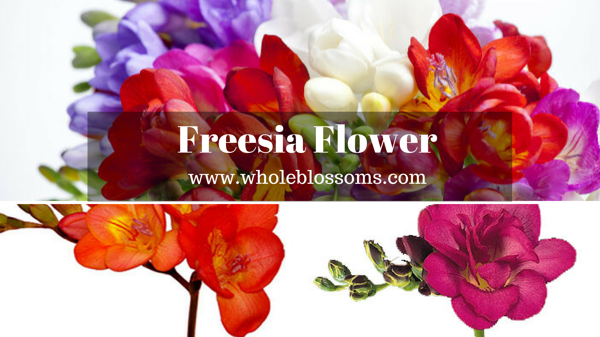 Buy Perfect Freesia Flower for Your Decoration