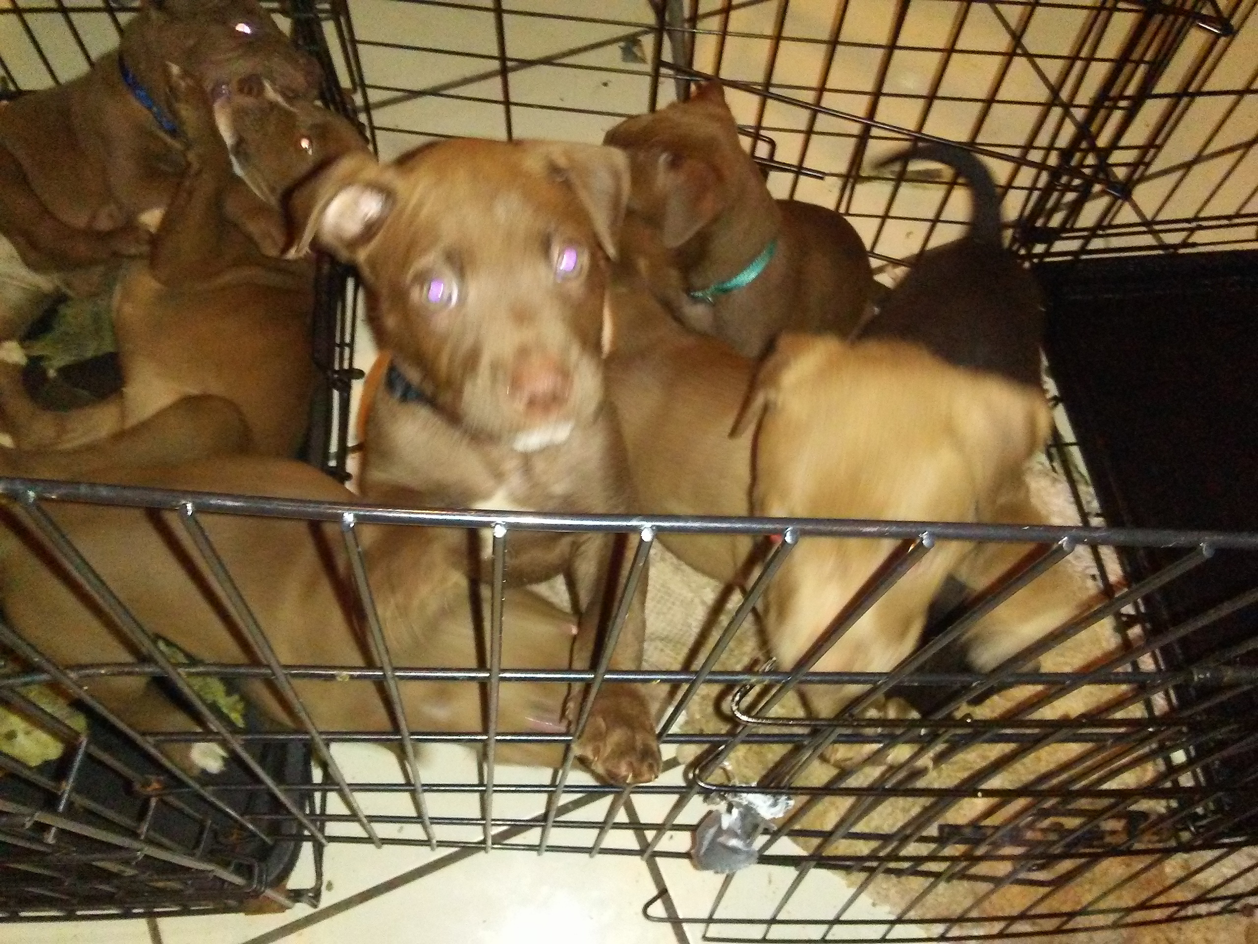 American Staffordshire Terrier/American Pit Bull Terrier
