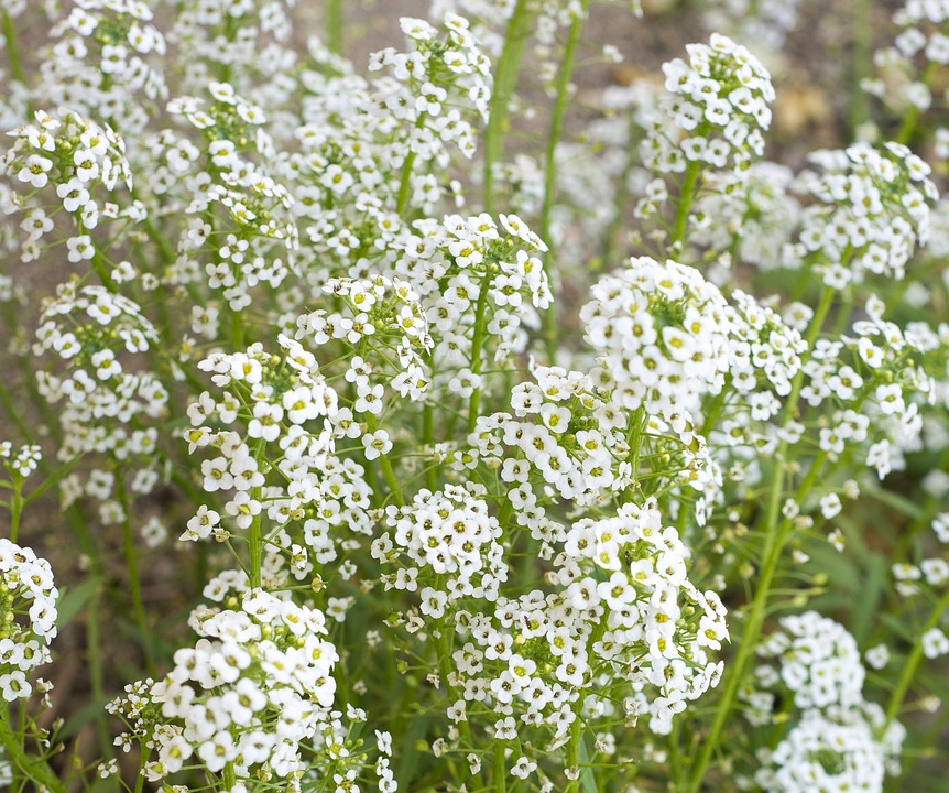 Looking Where to Buy Fresh Baby's Breath Flowers