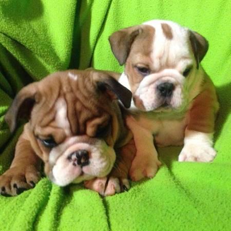 PennySaver | Healthy Home Raised English Bulldog Pups