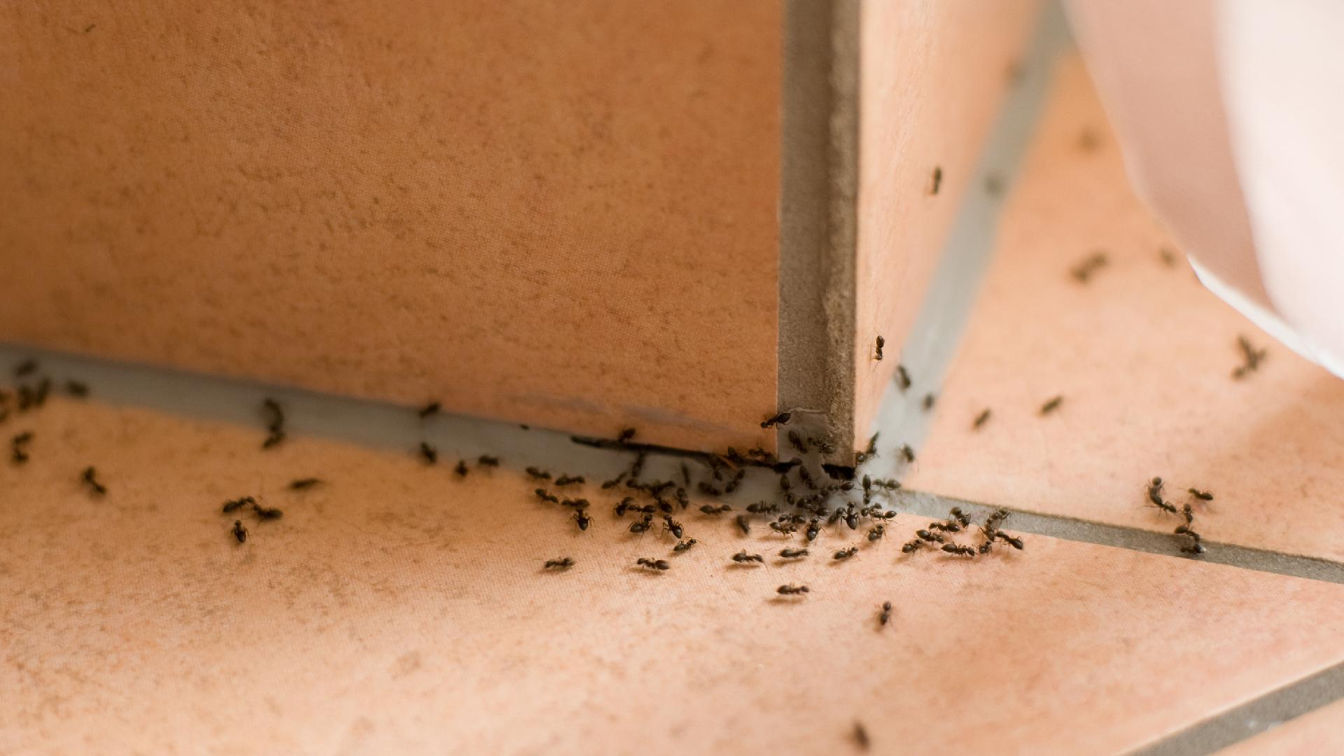 Hire Ant and Mouse Removal Expert in NYC