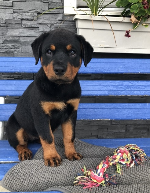 Beautiful Rottweiler Pups for sale - 2 girls and 2 boys Left