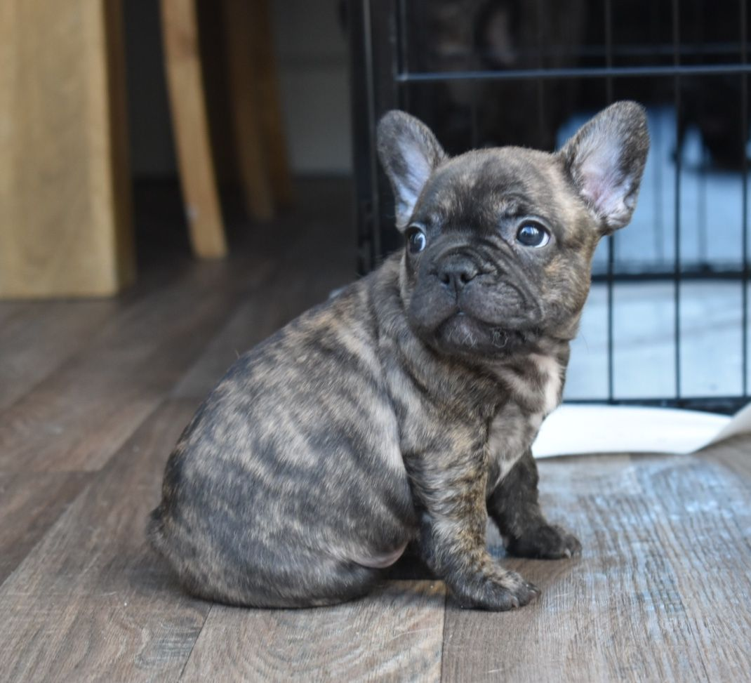 Pure bred bloodline blue French Bulldog pups