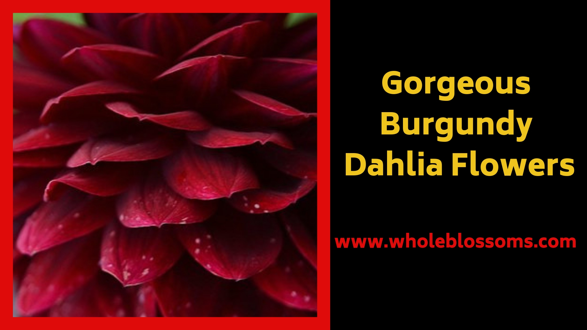 Looking to Buy Wholesale Burgundy Dahlias for Sale?