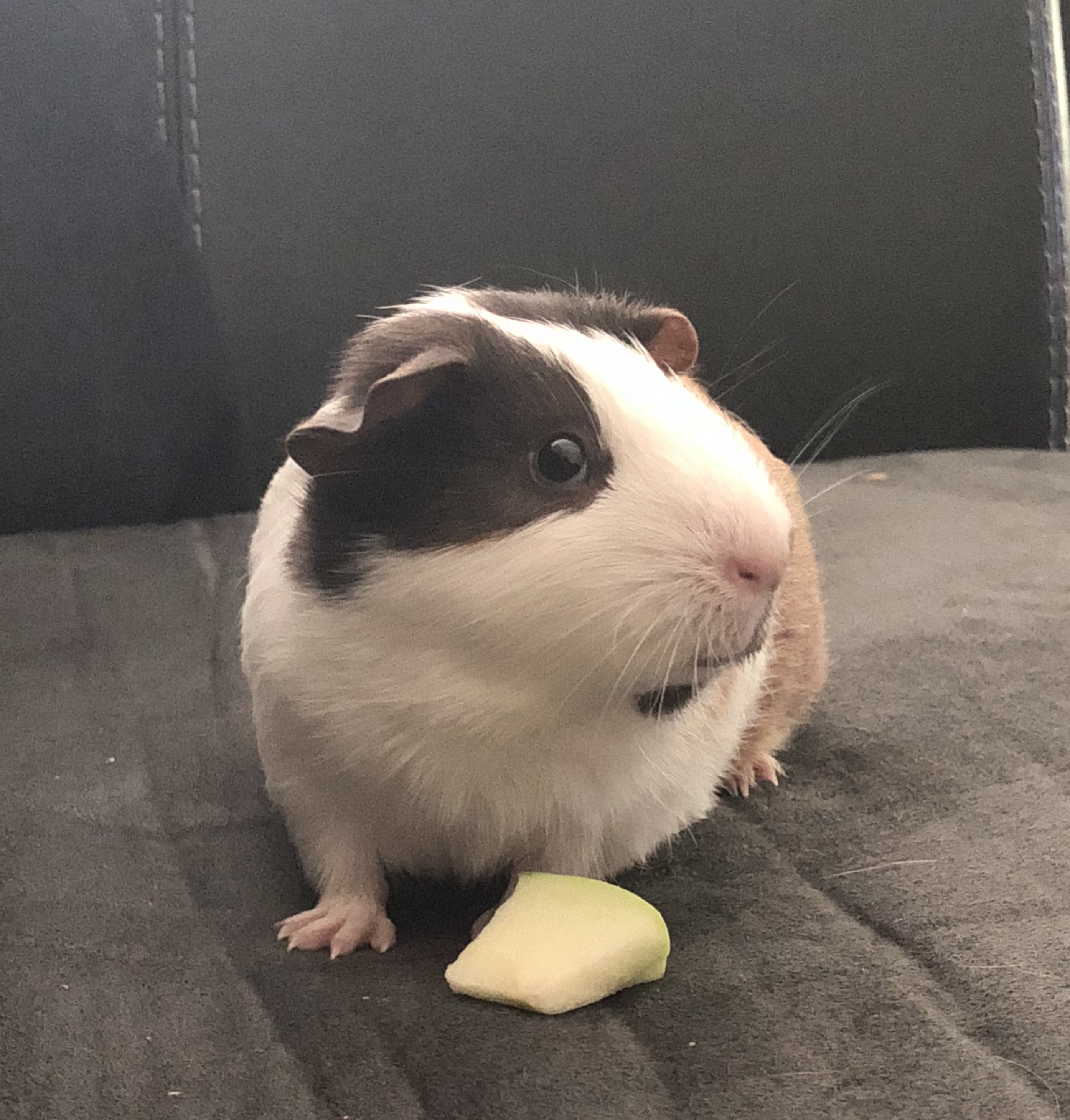 Guinea Pig and Accessories for Sale
