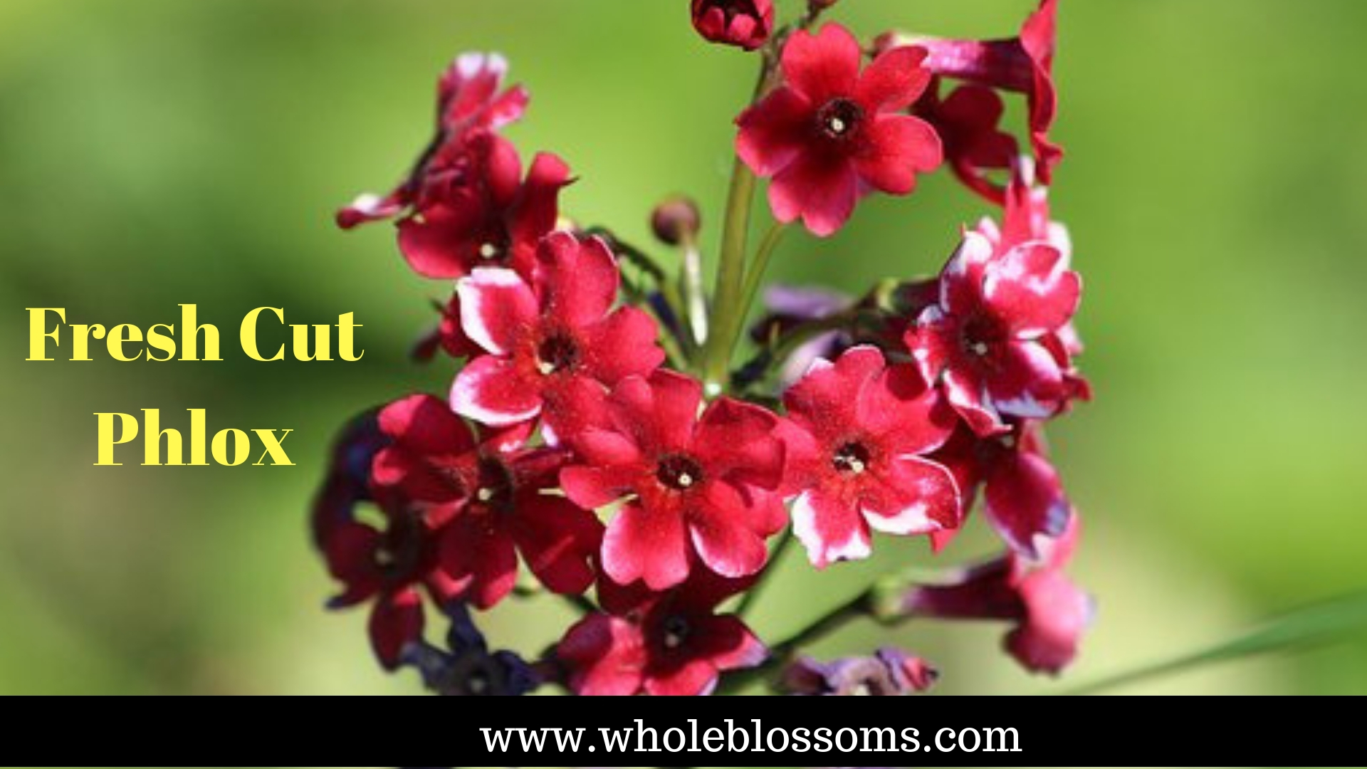 Find the biggest sale on Whole Blossoms for Phlox flowers