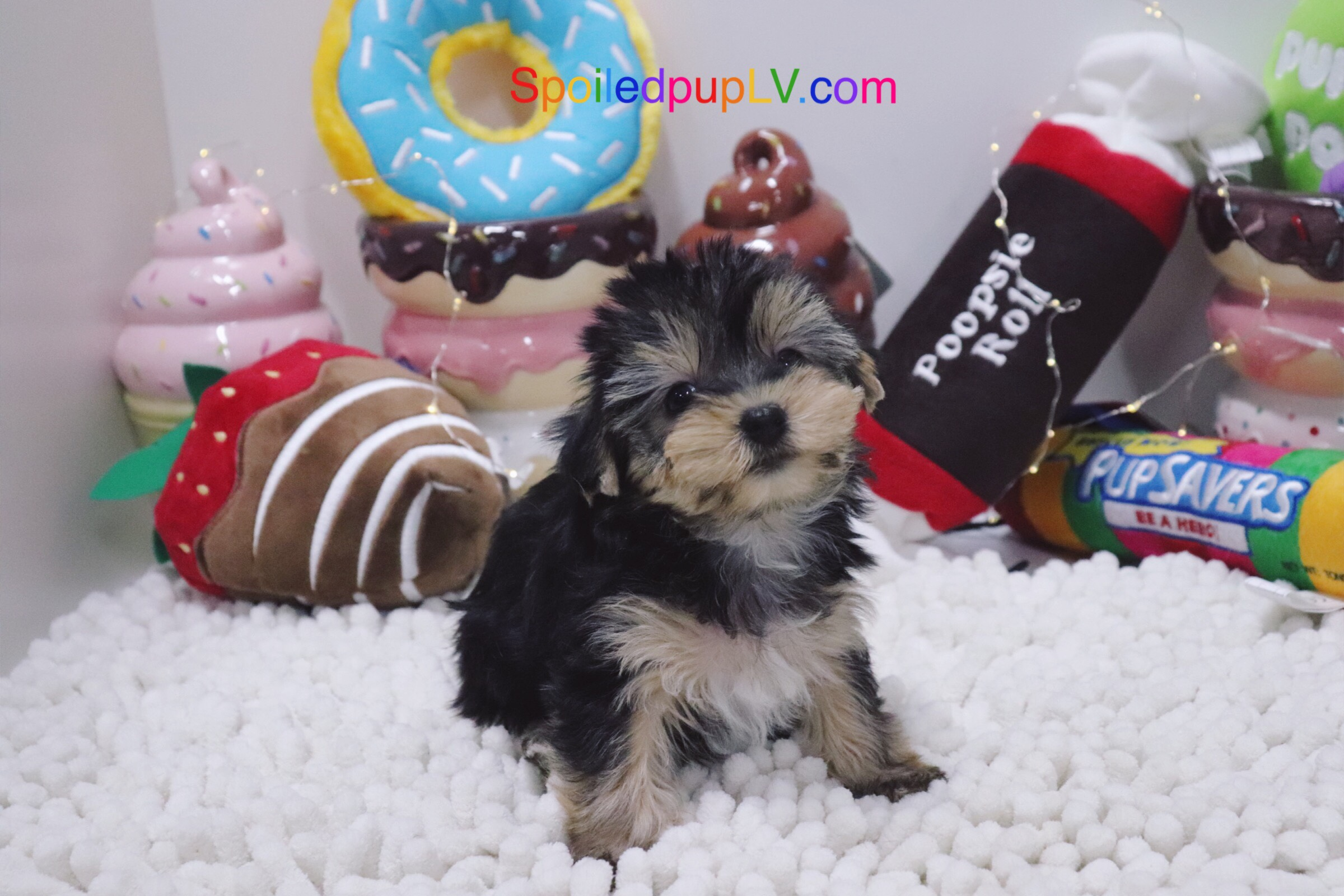 Yorkshire Terrier - Melody - Female