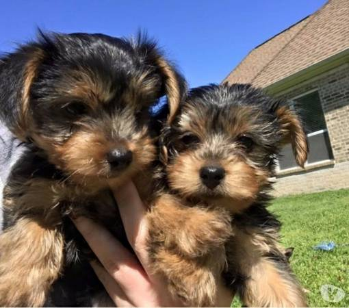 !@2019* very athletic Teacup yorkie puppies ASAP*
