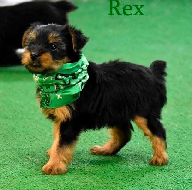 Okkds Yorkshire Terrier Puppies For Sale