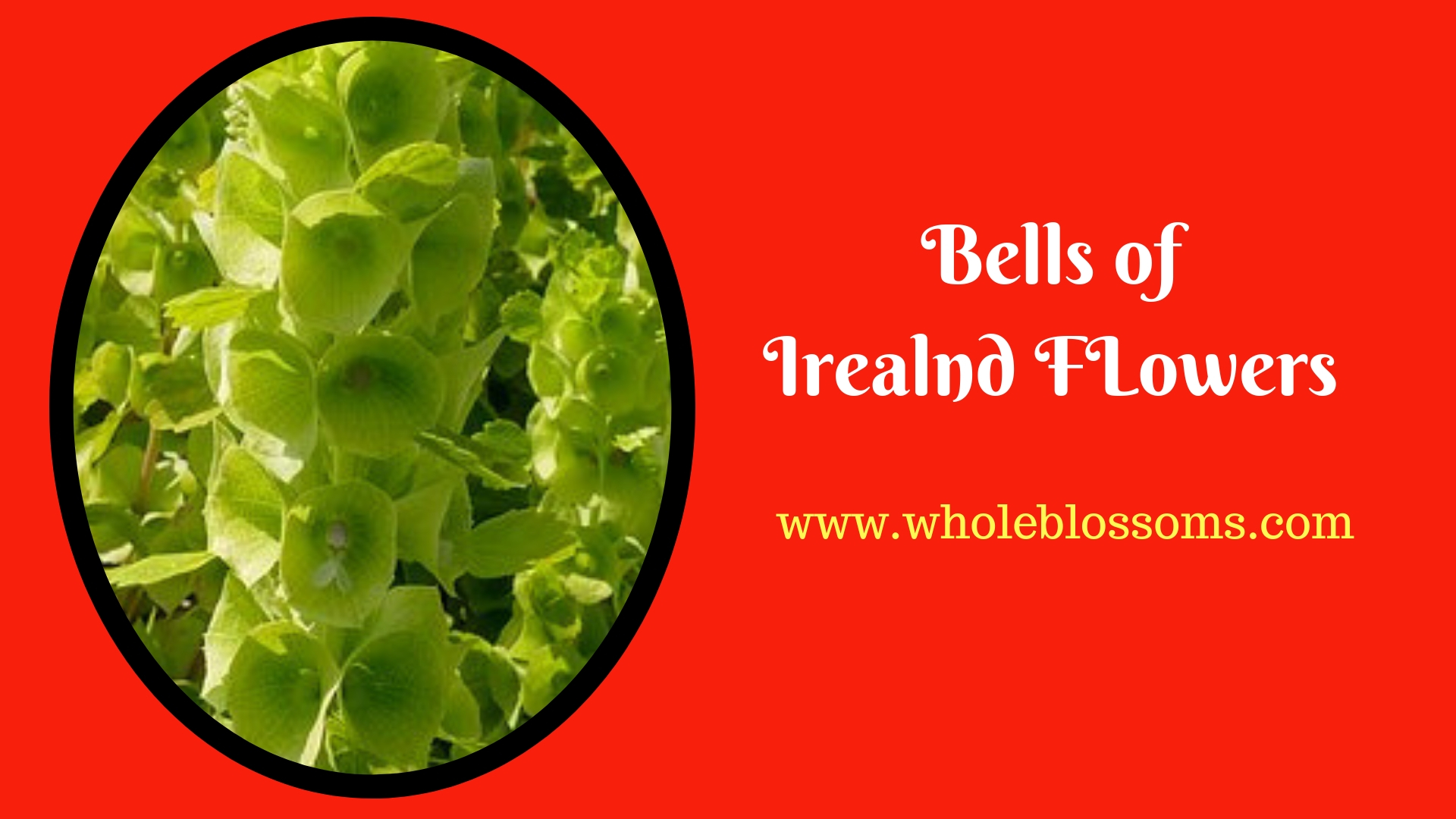 Know More About Bells of Ireland Flowers and Bouquets