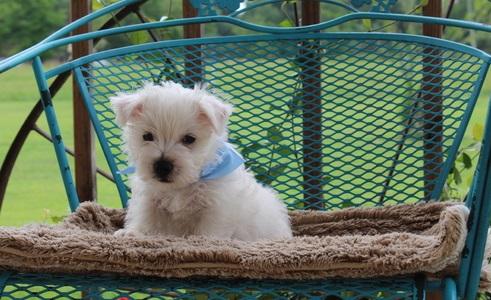 Stunnx West highland Terrier Puppies left now
