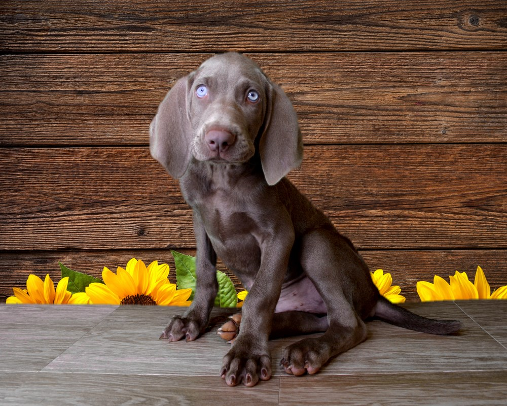 Snoopy the Weimaraner male pup