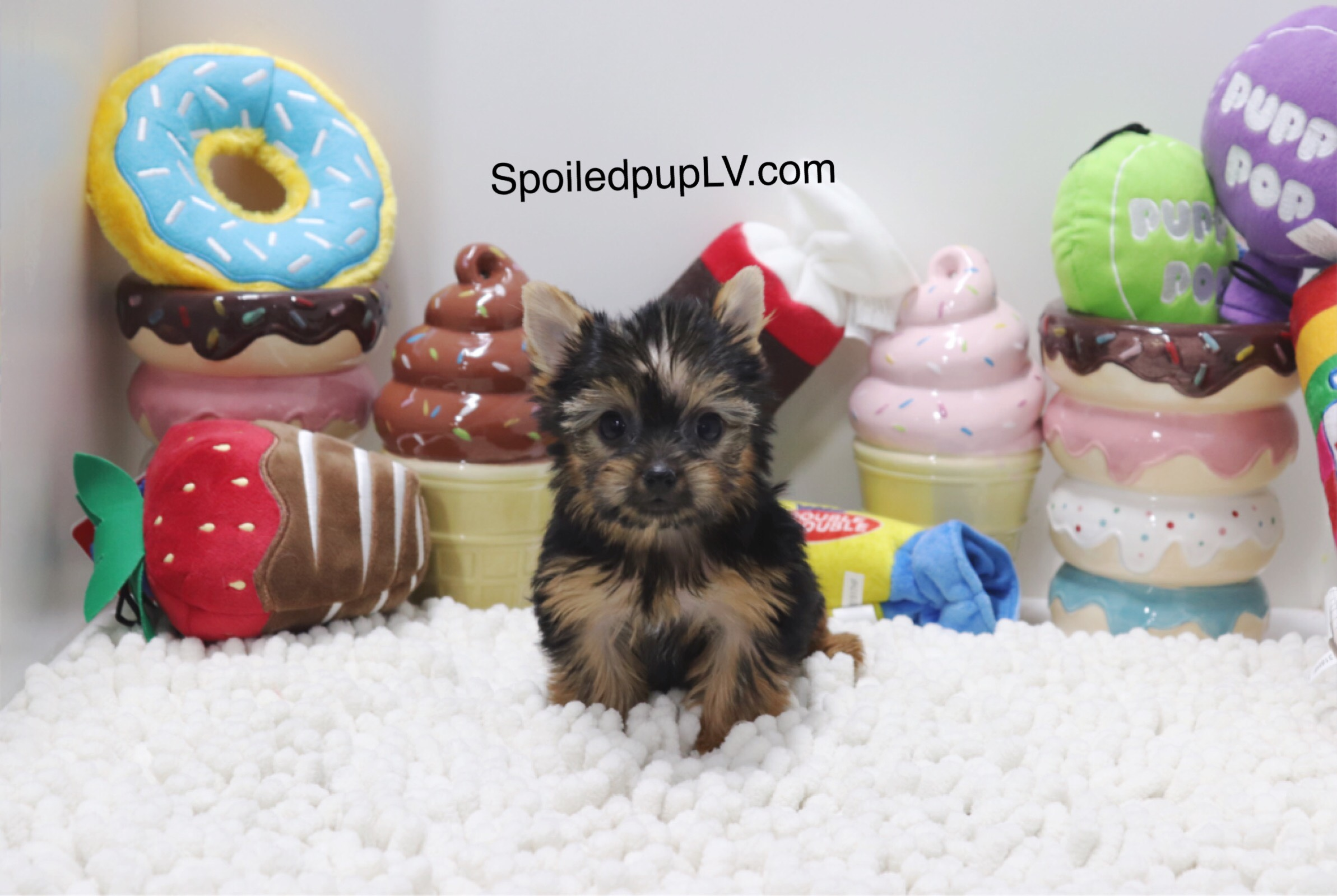 Yorkshire Terrier - Violet - Female