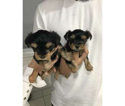 TEACUP YORKSHIRE PUPPIES