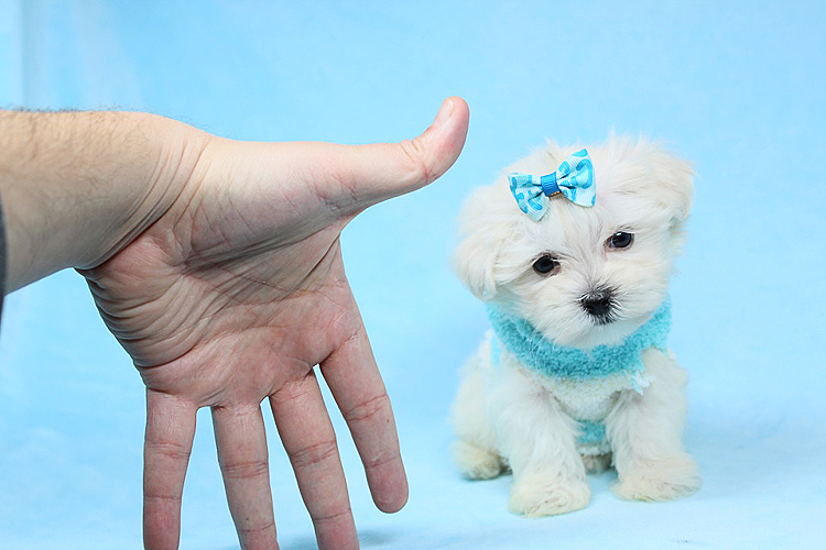 PennySaver | Perfect Teacup Maltese Puppies Available Now in