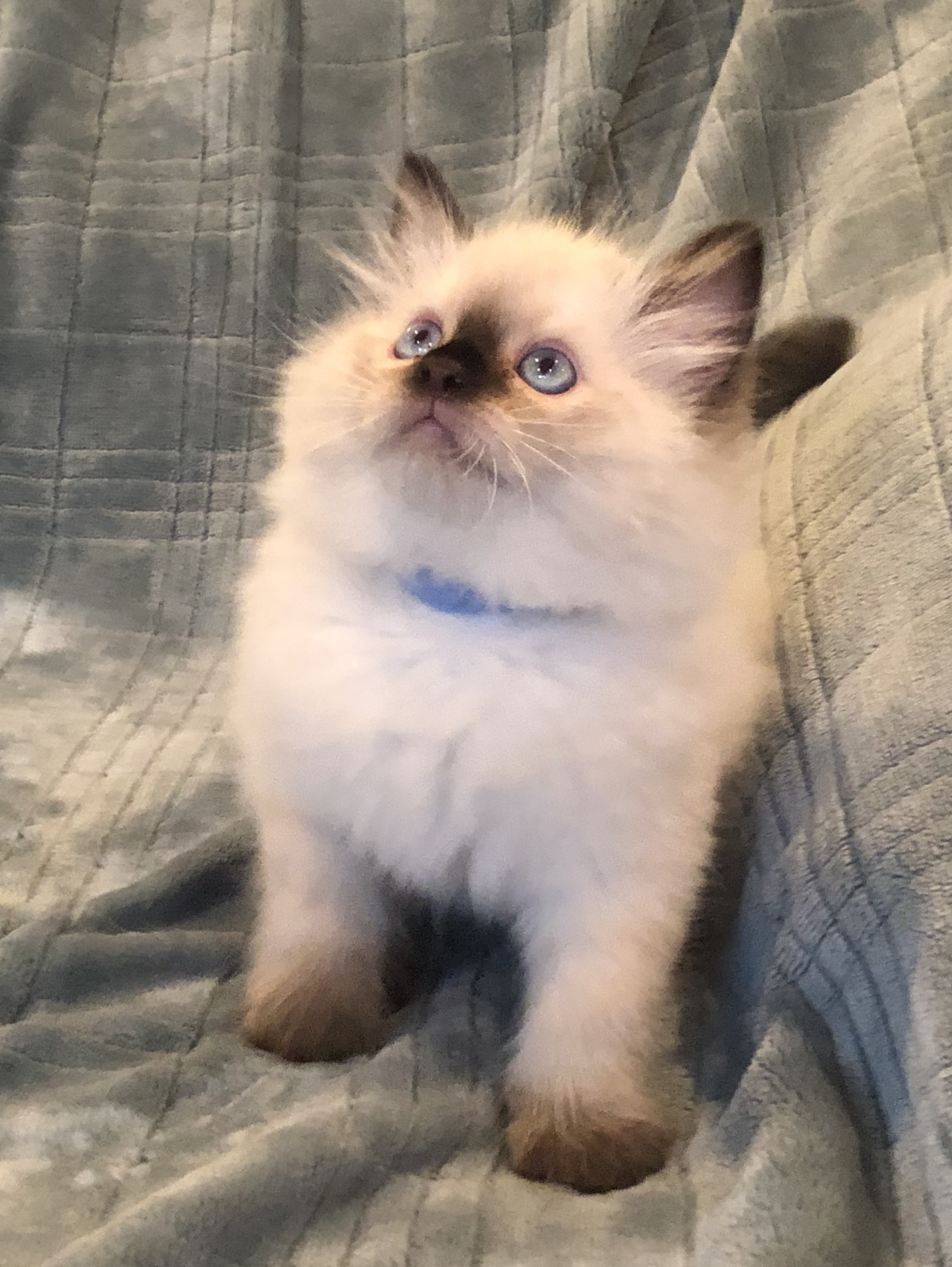 PennySaver | Ragdoll Kitten for sale!! in Los Angeles, California, USA
