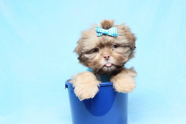 PennySaver | Teacup and Imperial Shih Tzu puppies in Contra