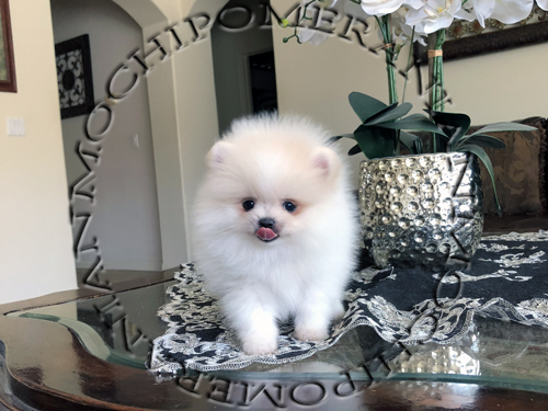 AKC Teacup male Pomeranian