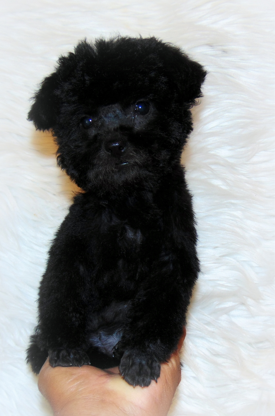Pennysaver Tiny Toy Poodle In Riverside California Usa