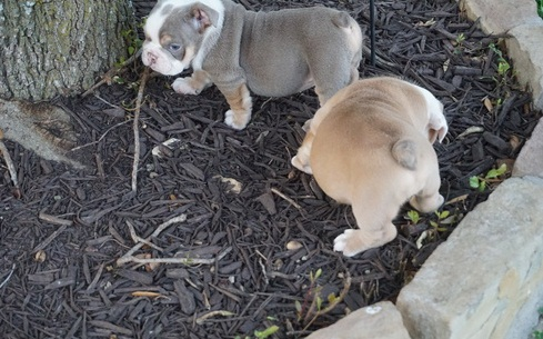 Precious English Bulldog Puppies