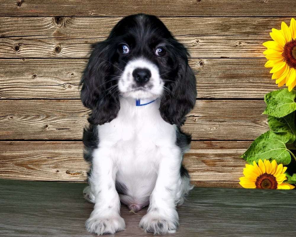 Shadow is a sweet male Cocker Spaniel!
