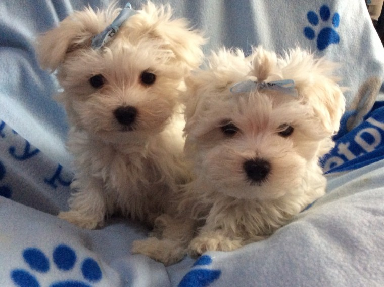 Beautiful Ckc Registered Snow White Teacup Maltese Puppies For Sale