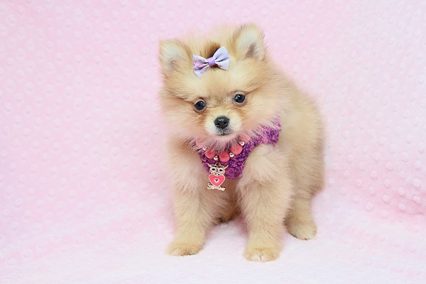 PennySaver | Teacup Pomeranian Puppies Available in Orange County