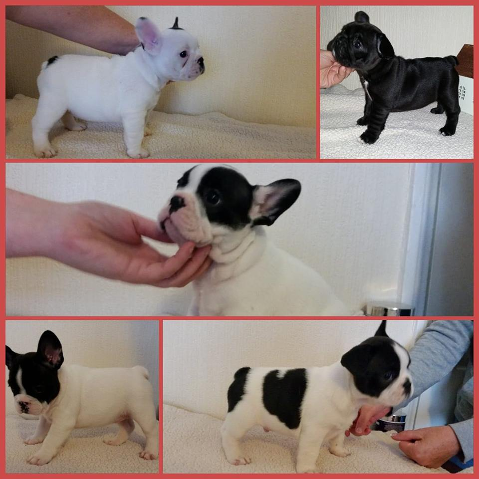 beautiful and healthy french bulldogs for sale